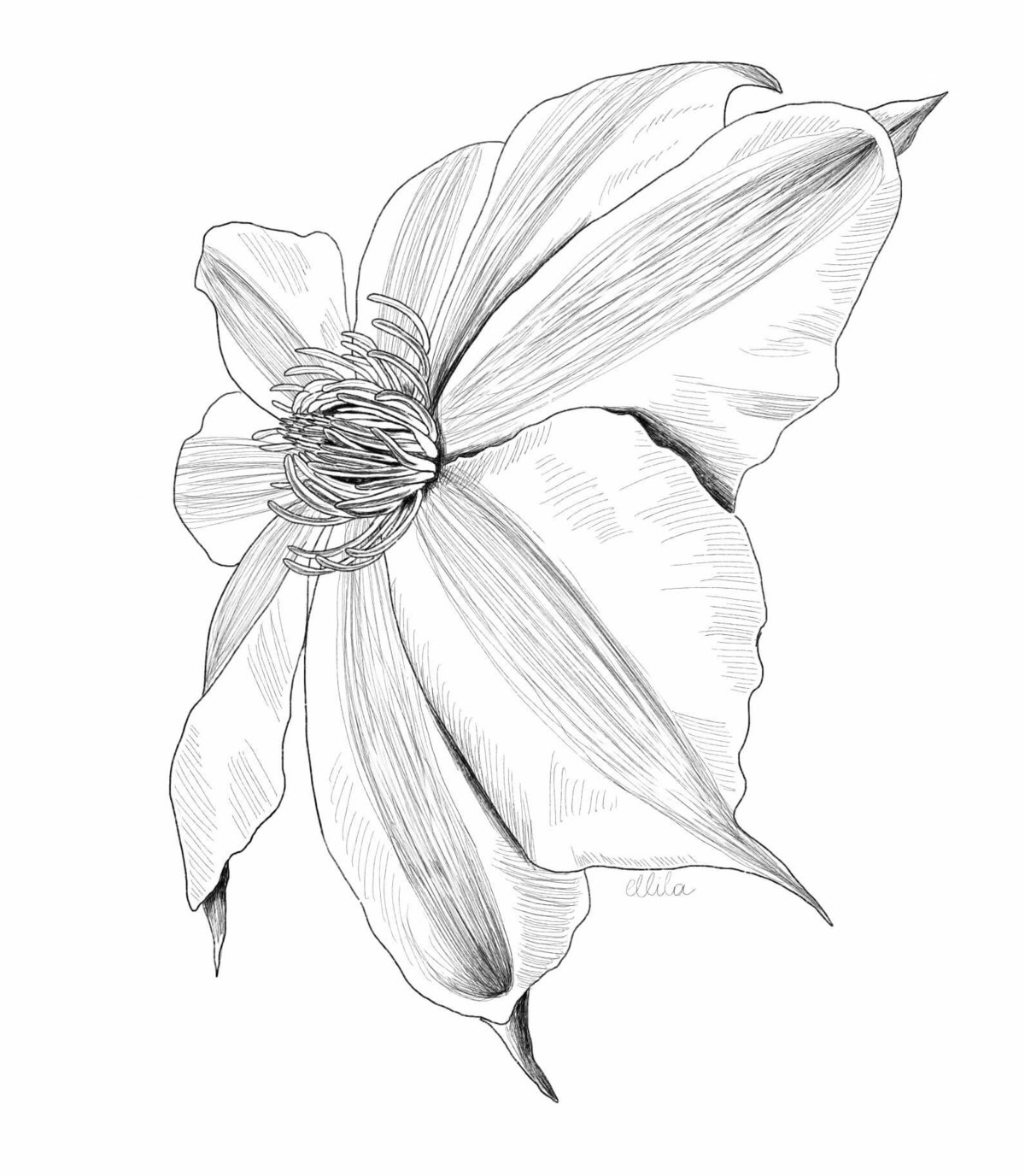 clematis illustration ellila designs