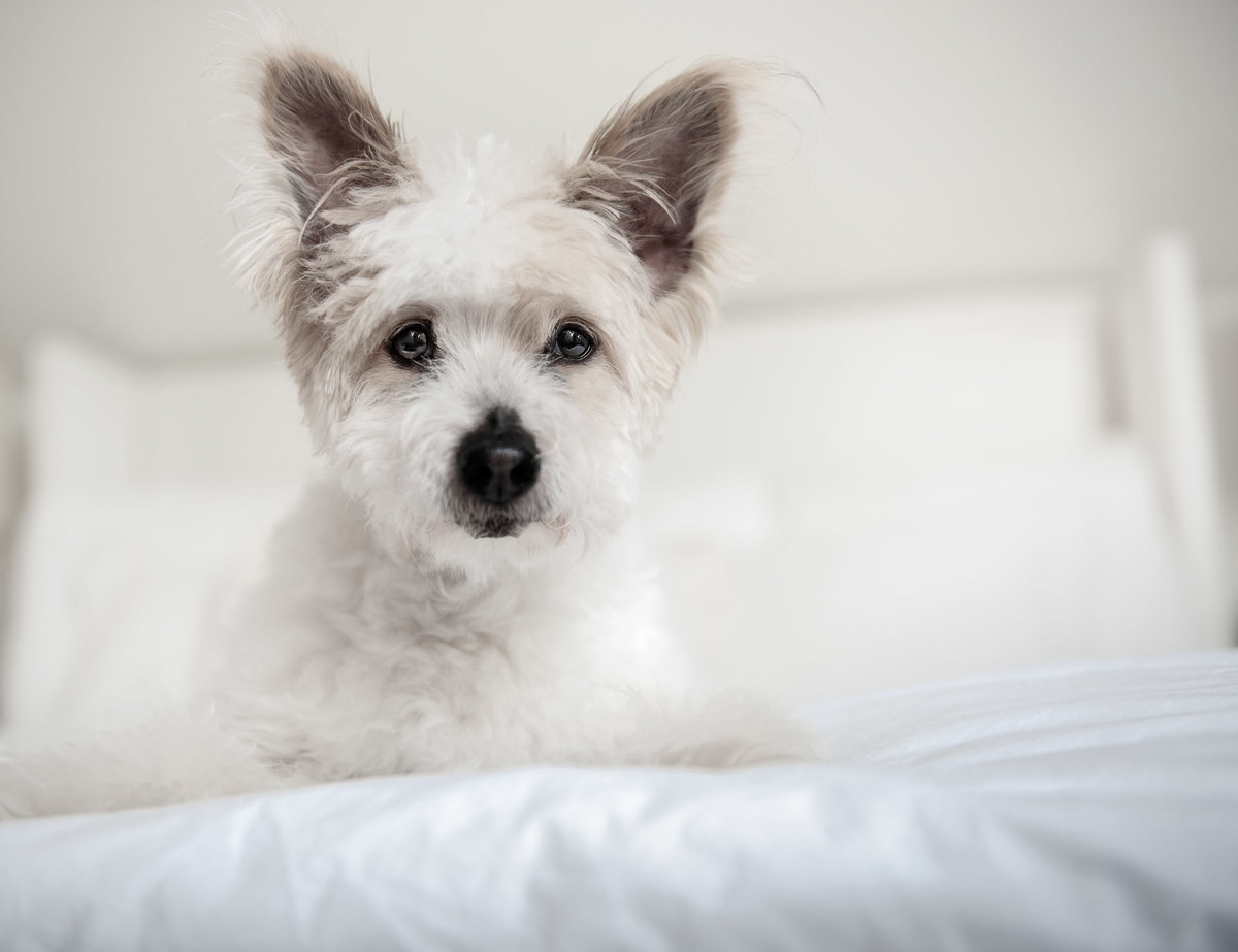 Older white coton de tulear dog on white bed