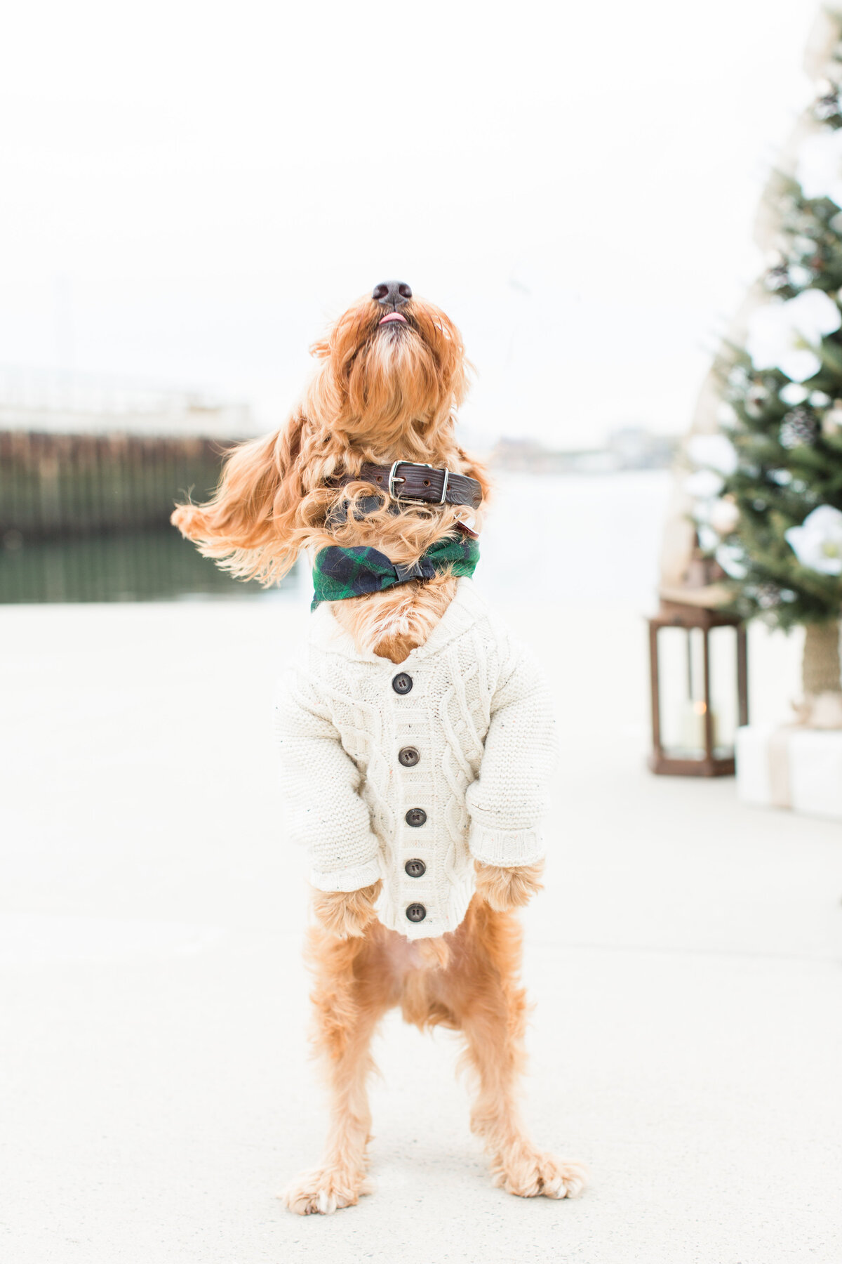 Goldendoodle wearing a sweater at Christmas