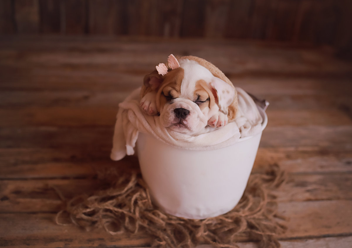 stella_luna_the_bulldog_pup