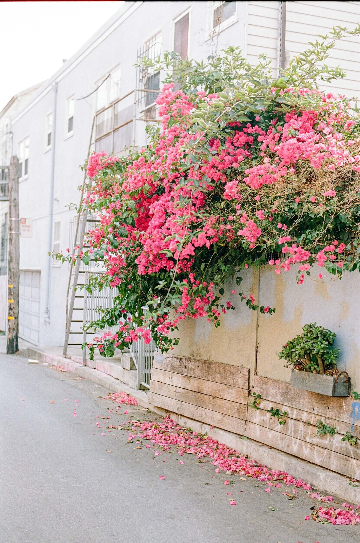 Mission District Bougainvillea by Marissa Wu 2