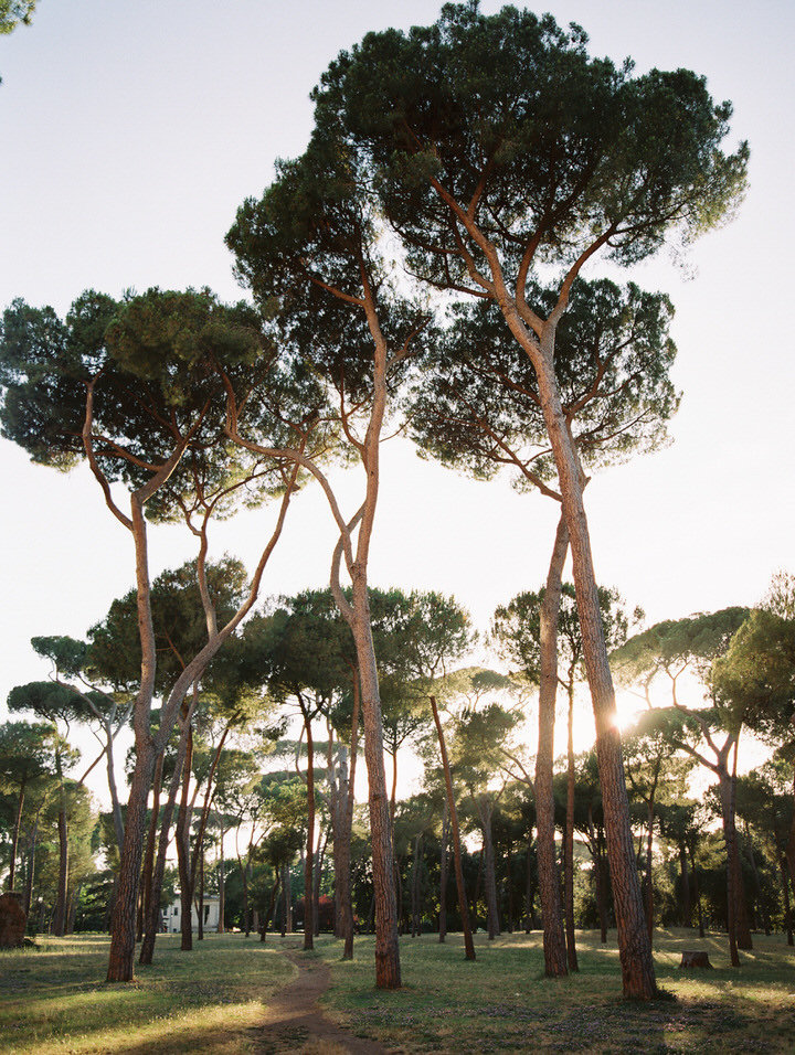 stone pine in a park in rome