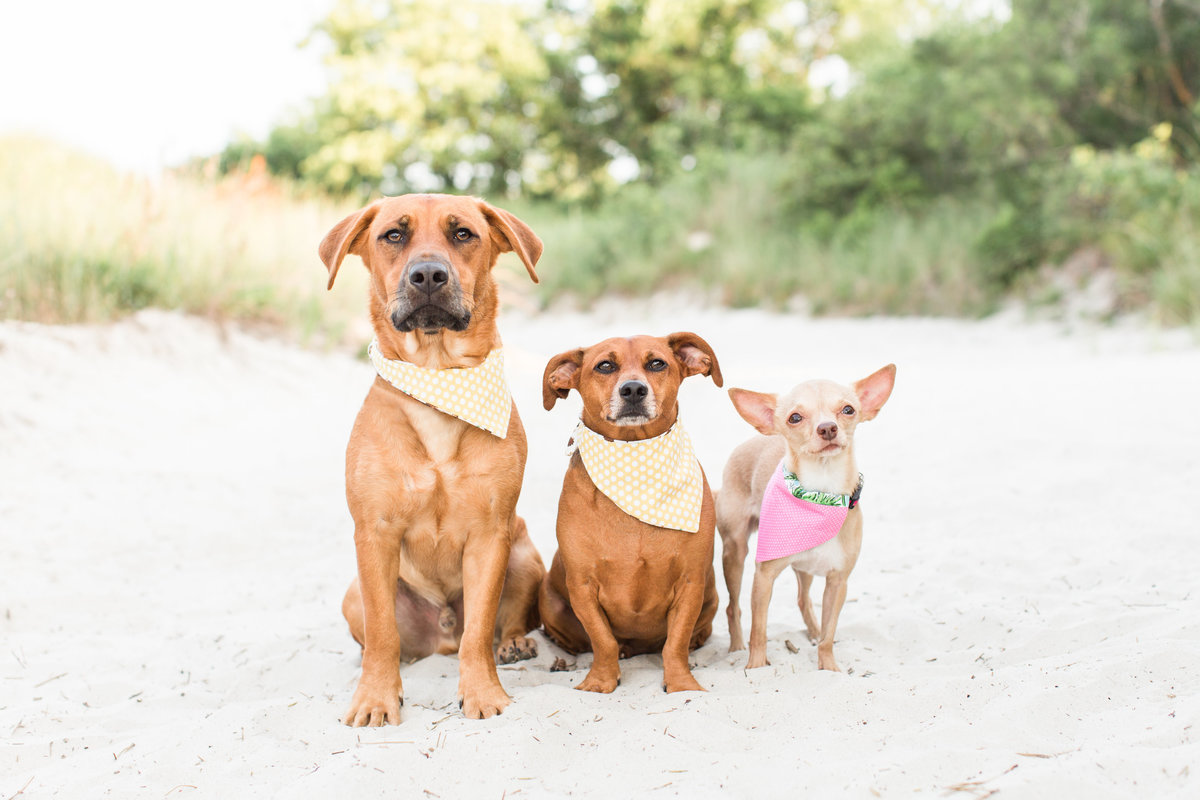 Three dogs wearing scarves at the beach