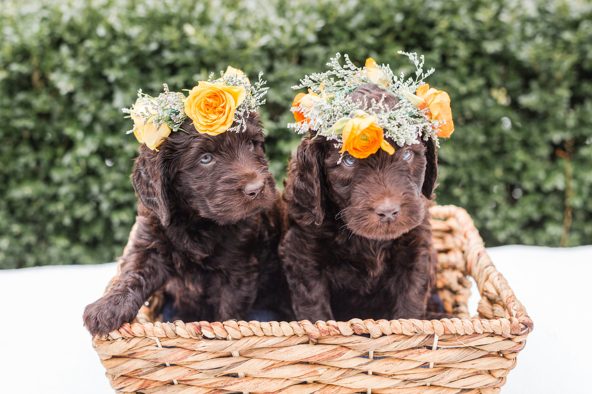Two Australian Labradoodles wearing flower crowns sitting in a basket