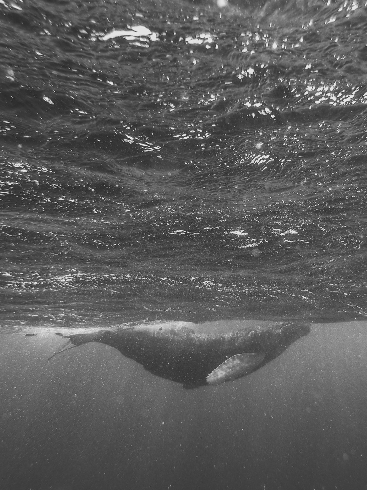 Humpback-Whales-by--Brittany-Gawley-Photography-2