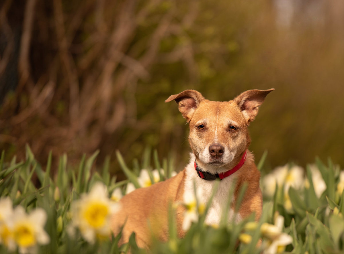 Tan and white staffordshire dog sitting in daffodils