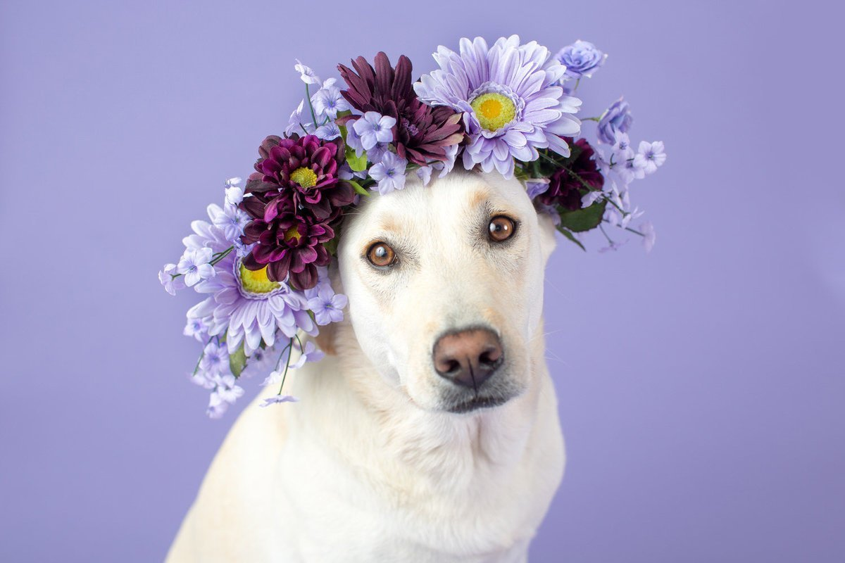 dog with floral crown on purple background