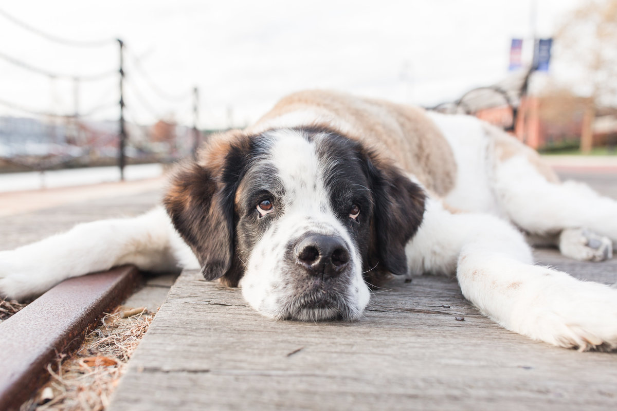 Saint Bernard laying on ground in Charlestown Navy Yard