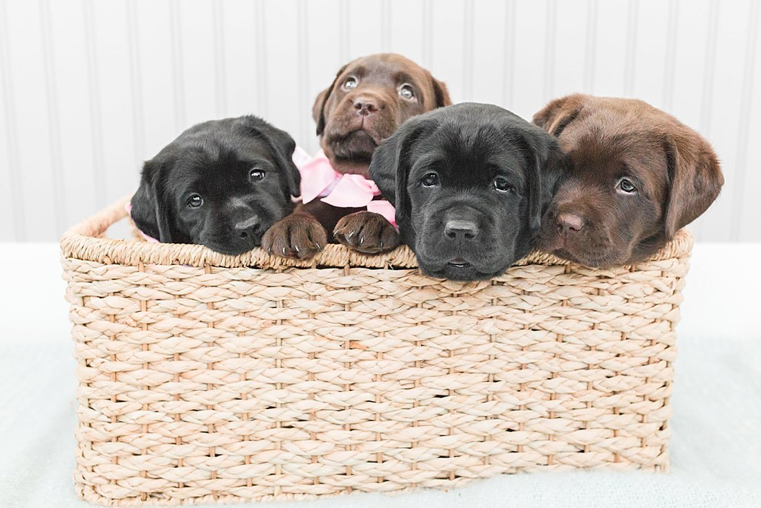 Four black and chocolate lab puppies sitting in a basket