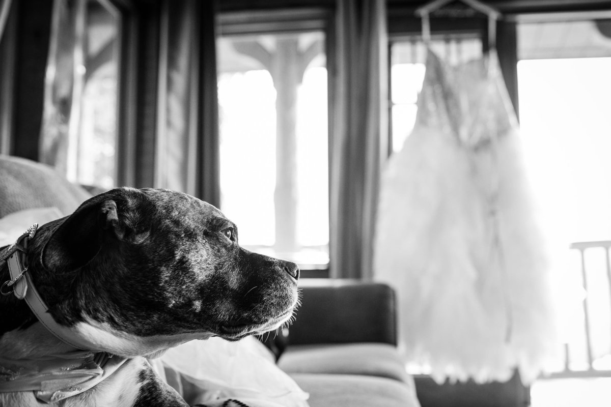 A dog lays on a couch while a wedding dress hangs in the window during a Colorado wedding.