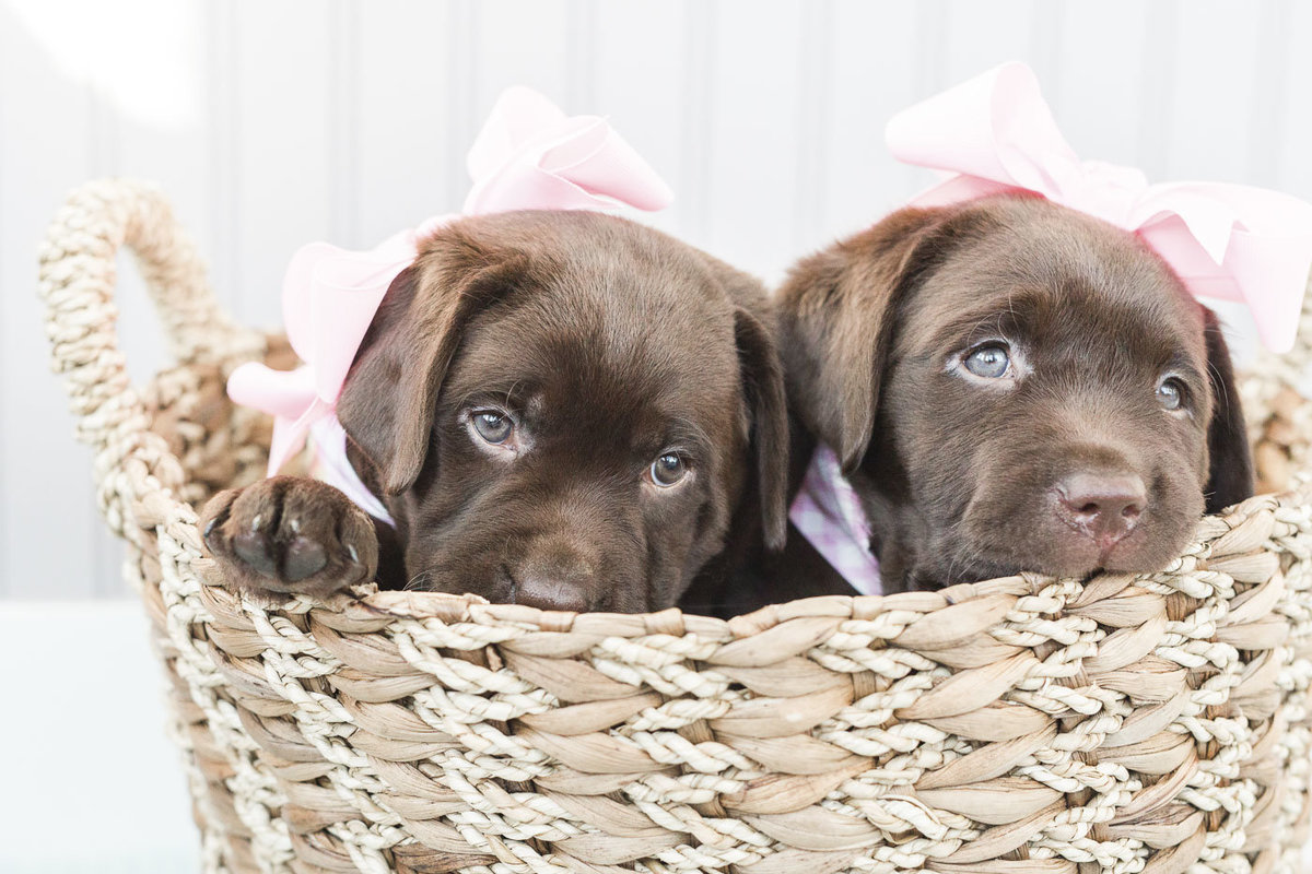 Two Chocolate Lab Puppies sitting in a basket