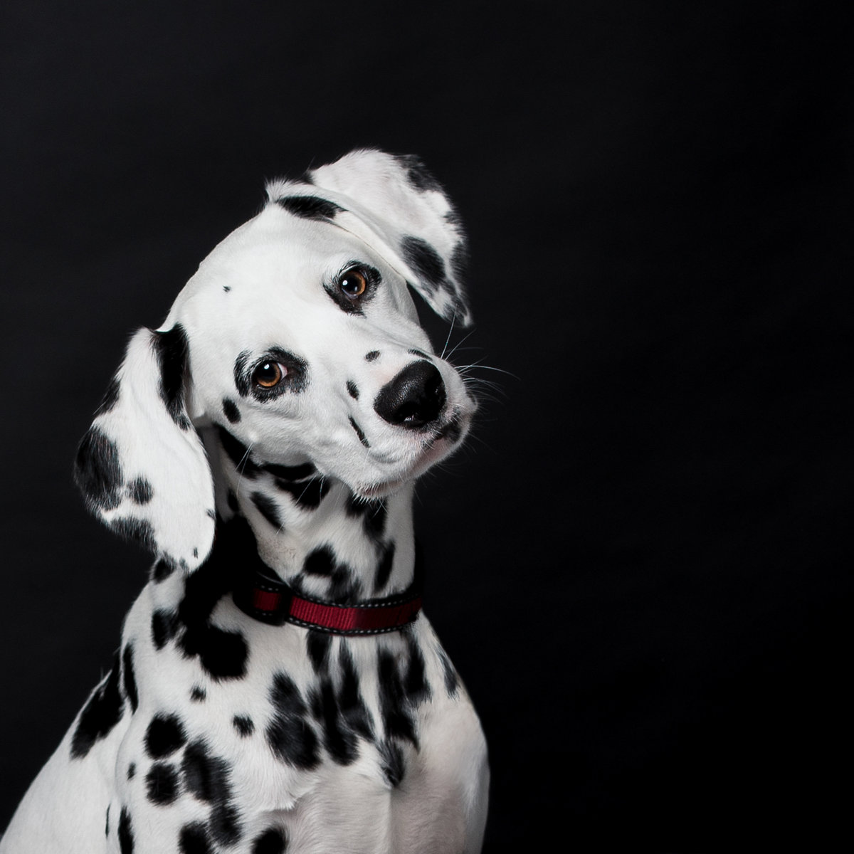 Dalmatian dog with head tilt on a black background
