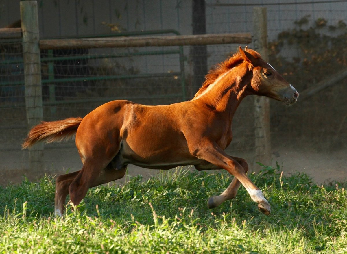 Connemara Sport Horse Foal Sired by R Blue Moon-Bred by Redbud Ranch