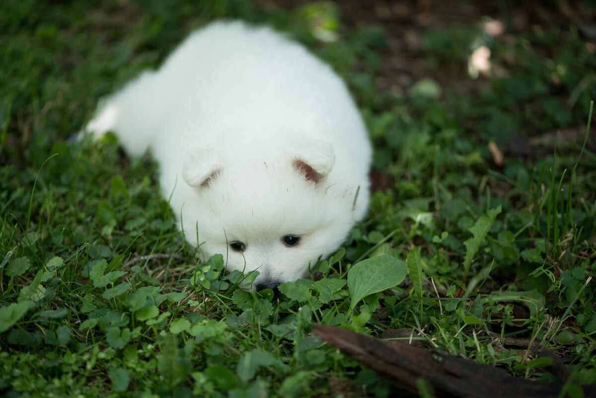 fluffy white volpino italiano puppy laying in grass