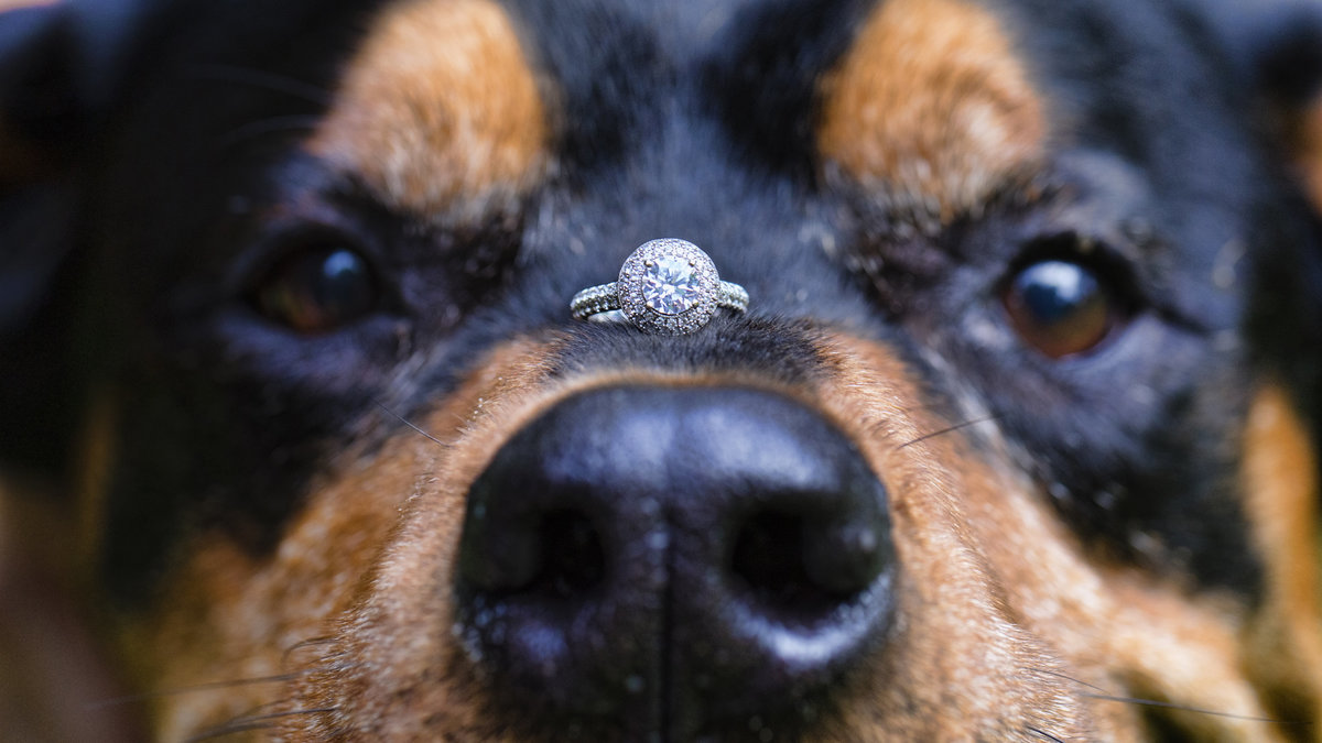 Dog with ring on nose at engagement session