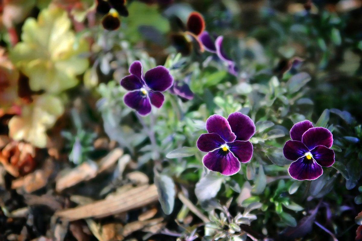 Smoky Purple Violas v3