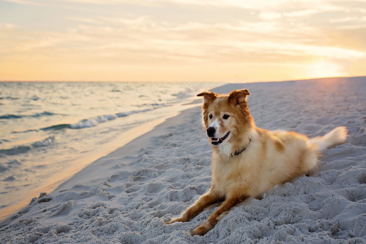 Yellow dog on beach at sunset