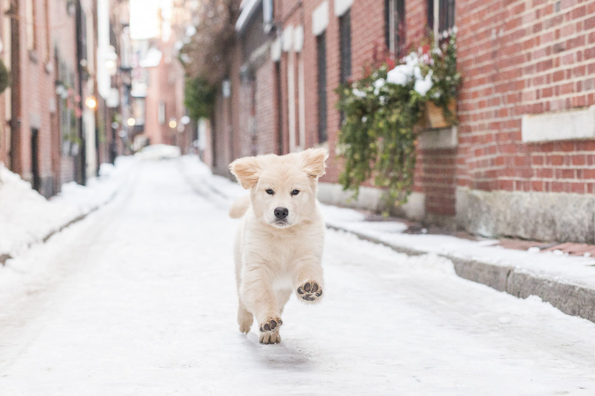 Golden Retriever running in Beacon Hill