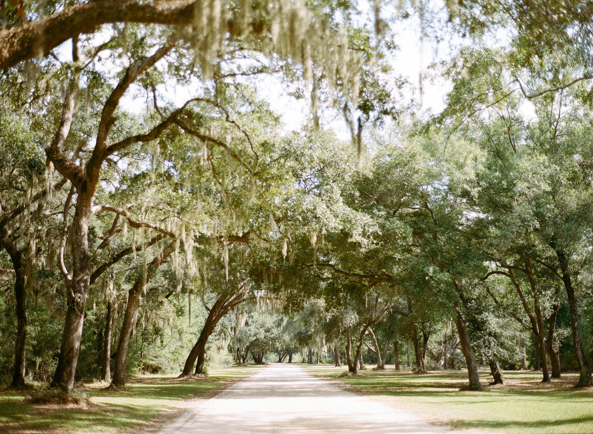 Spanish Moss Oak Tree Alley at Entrance of  Charleston Wedding