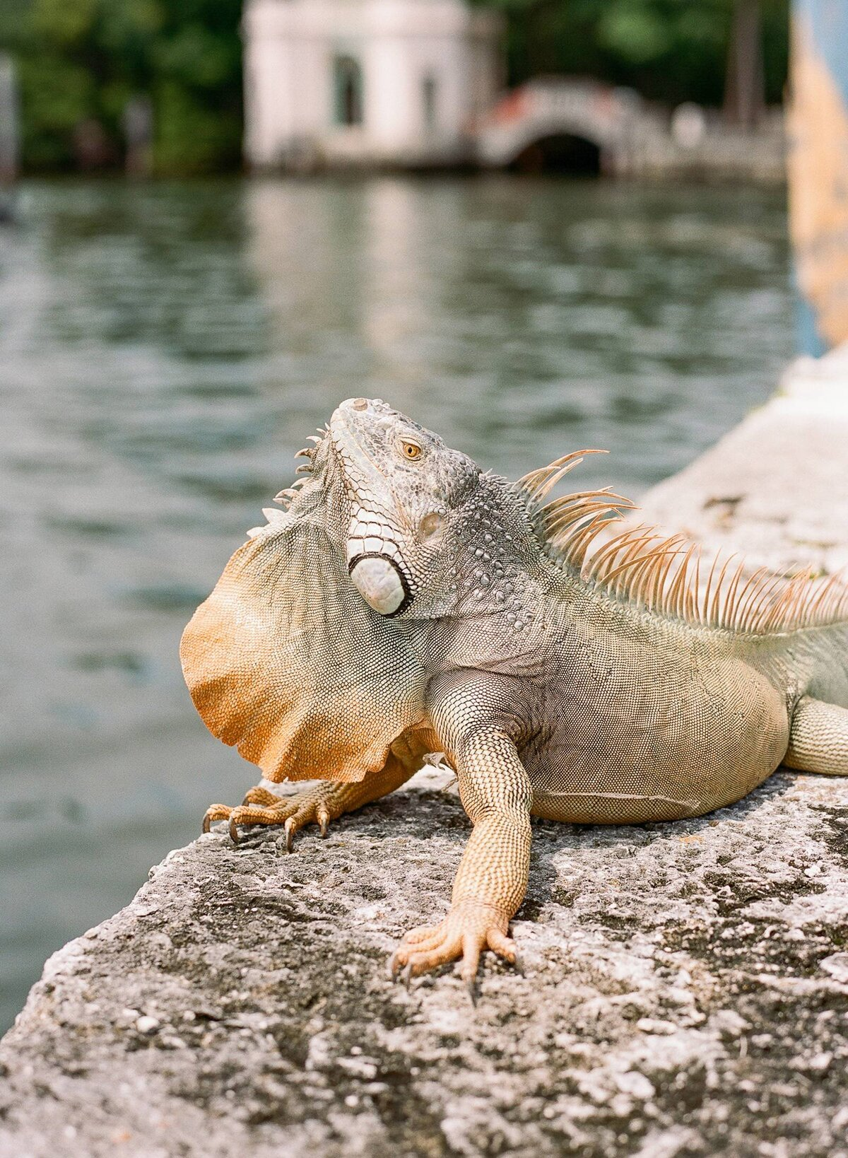 Iguana at Vizcaya