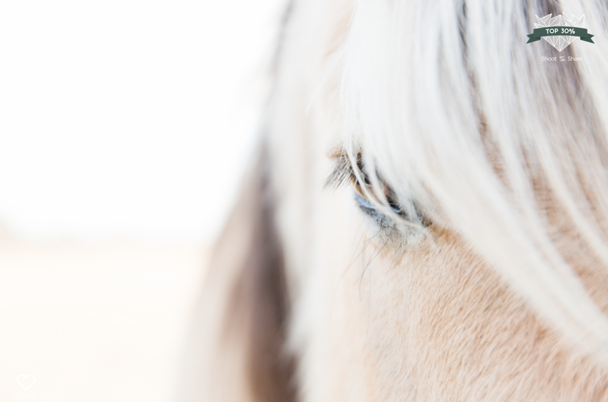 close up of the eye of a fjord pony
