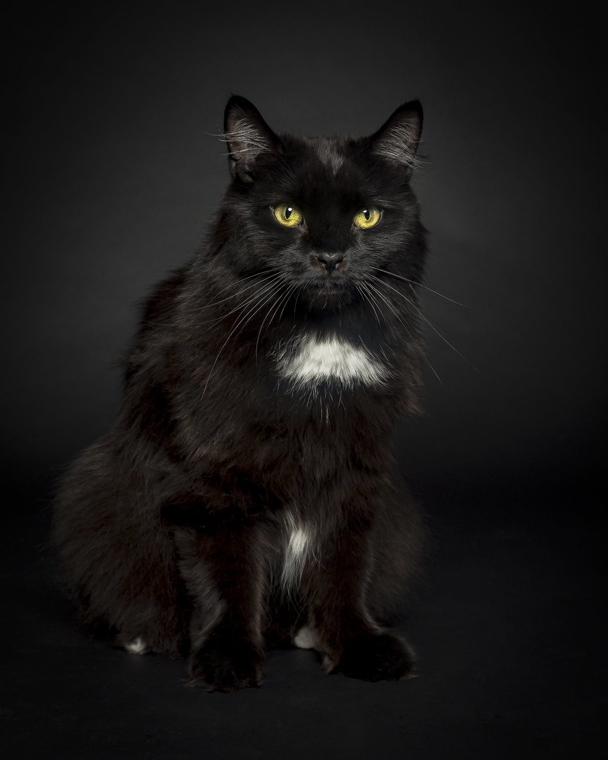 Black cat on a black background with gold eyes and white chest