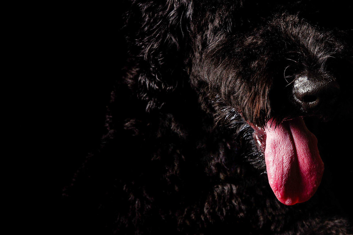 Close up portrait of standard poodle by King and Fields Studios Charleston SC