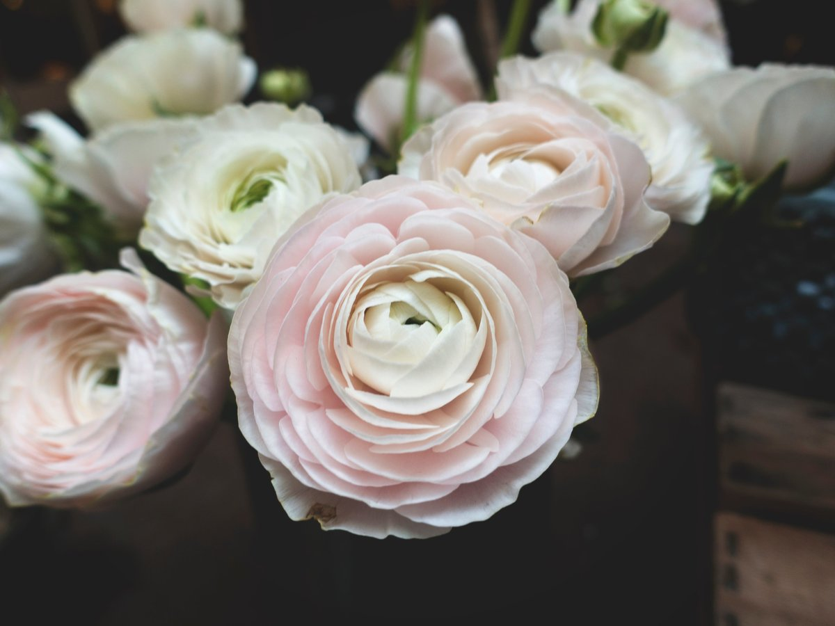 Beautiful pale pink and white ranunculus bouquet