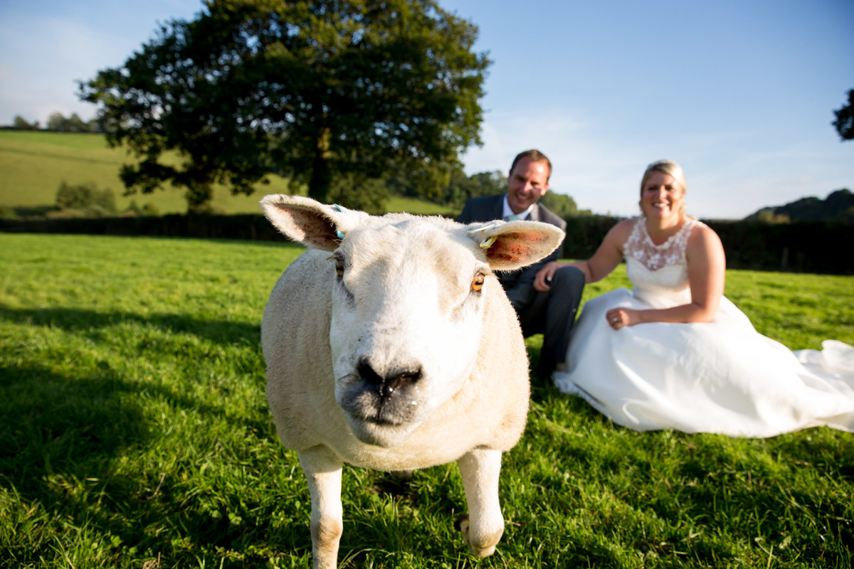 sheep at wedding in devon