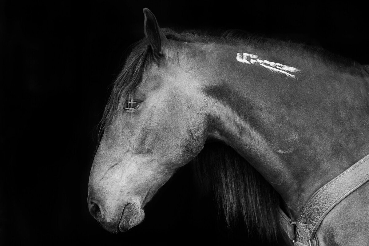 black background portrait of a mustang horse