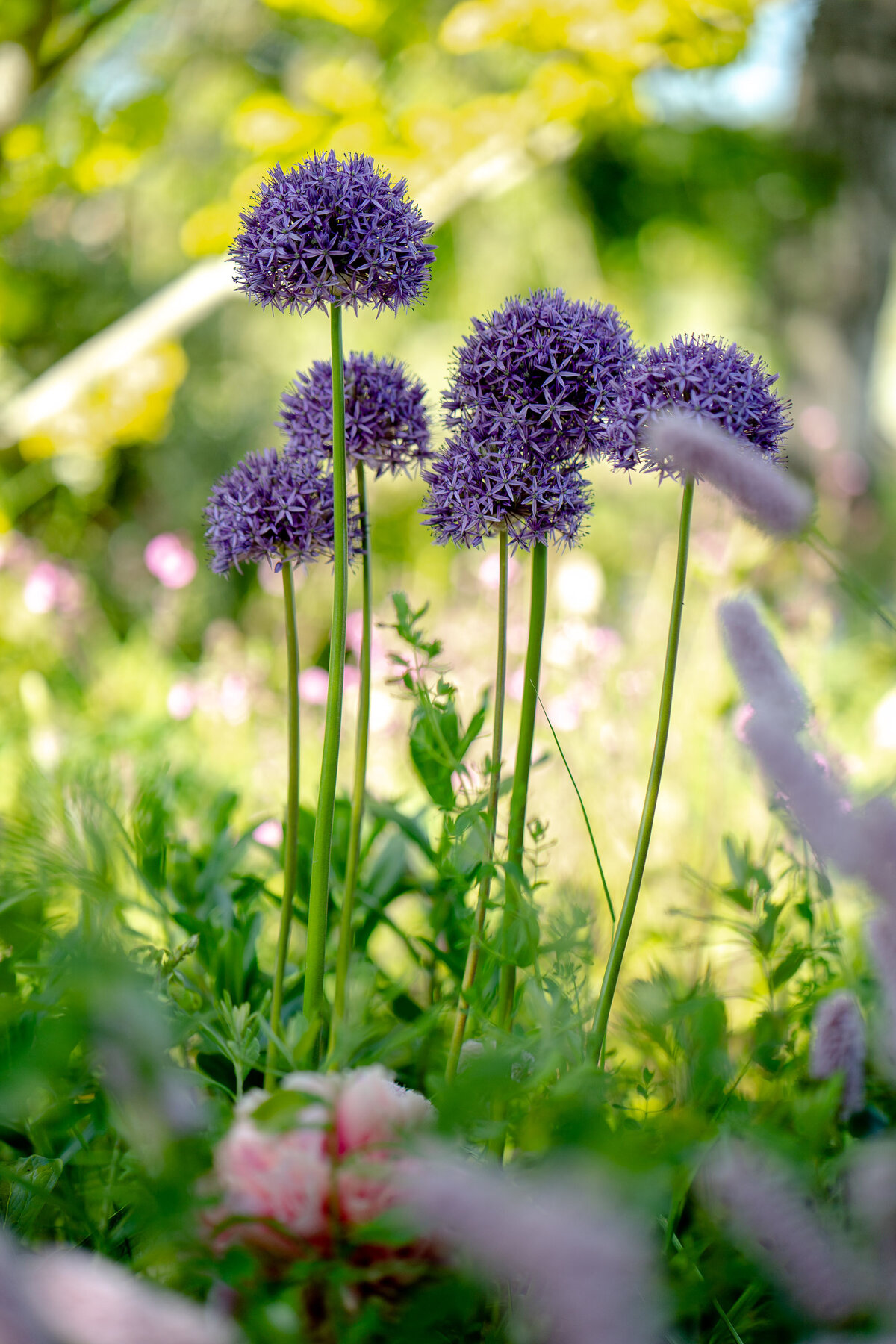 Alliums. Garden photographer Leeds