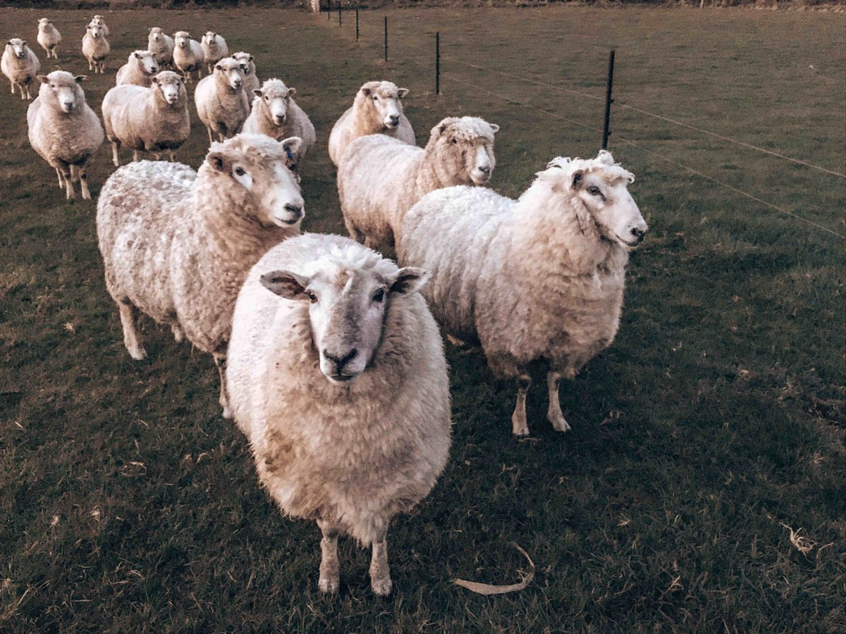 Flock of sheep in Southland, New Zealand