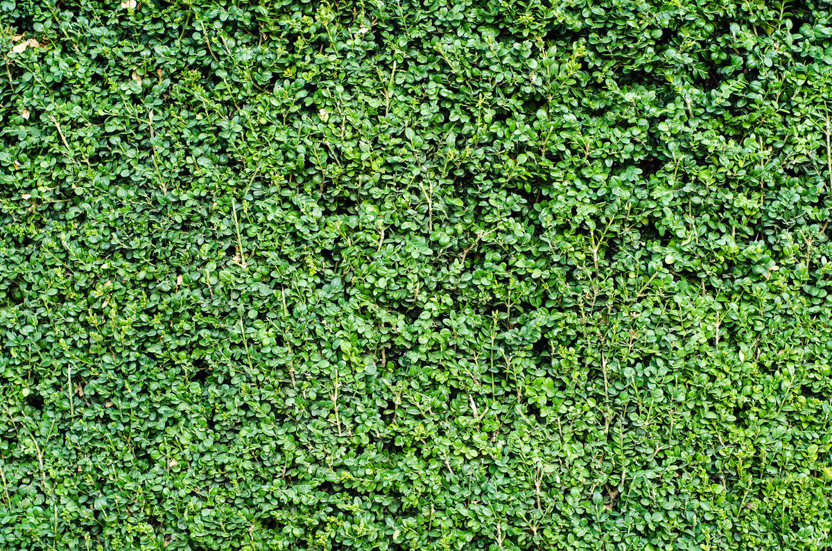 bigstock-Green-Boxwood-Wall-33252443