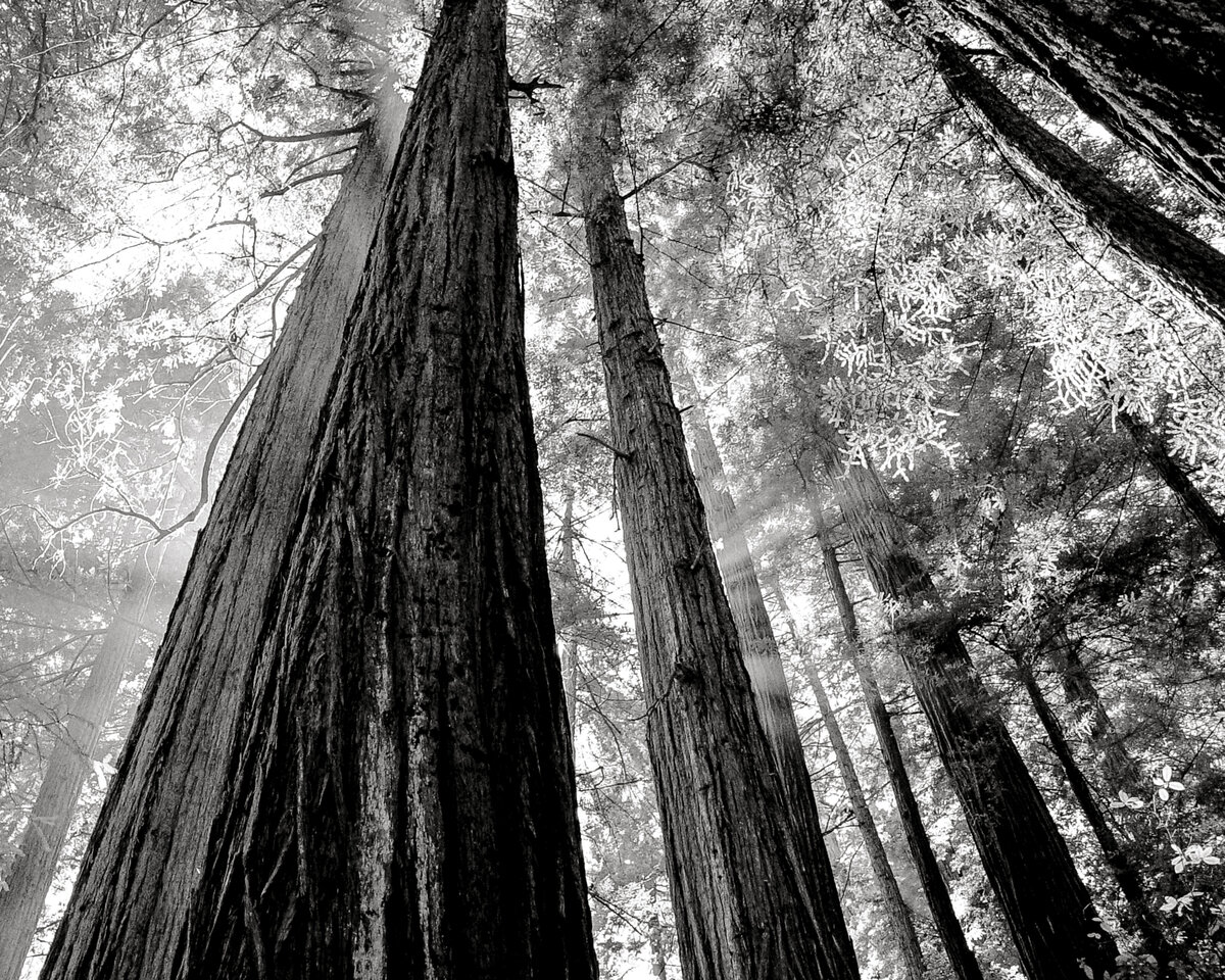 ancient redwoods in california