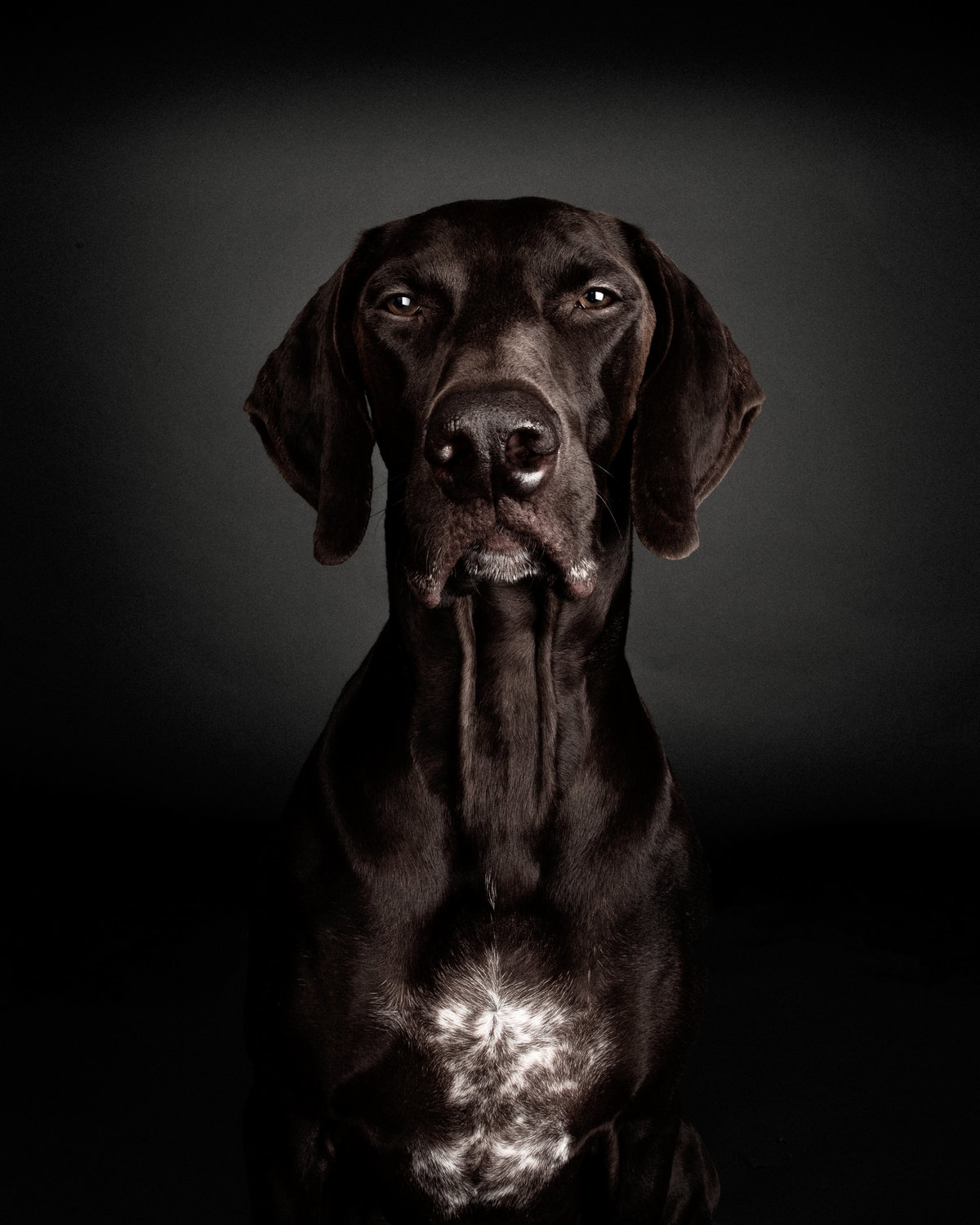 Big nose headshot of a very serious dog German Shorthaired Pointer on black background