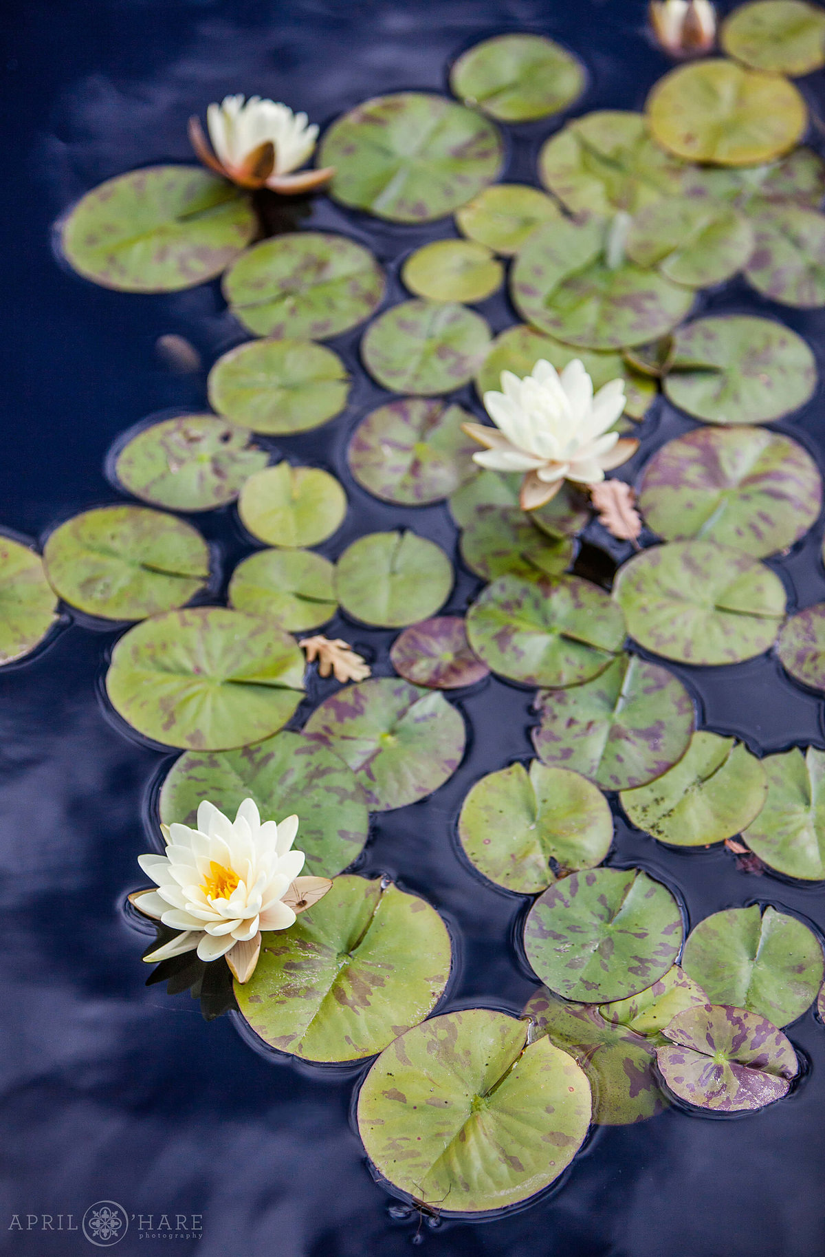 Denver wedding photographer detail photo of water lilies from a Denver Botanic Gardens summer wedding