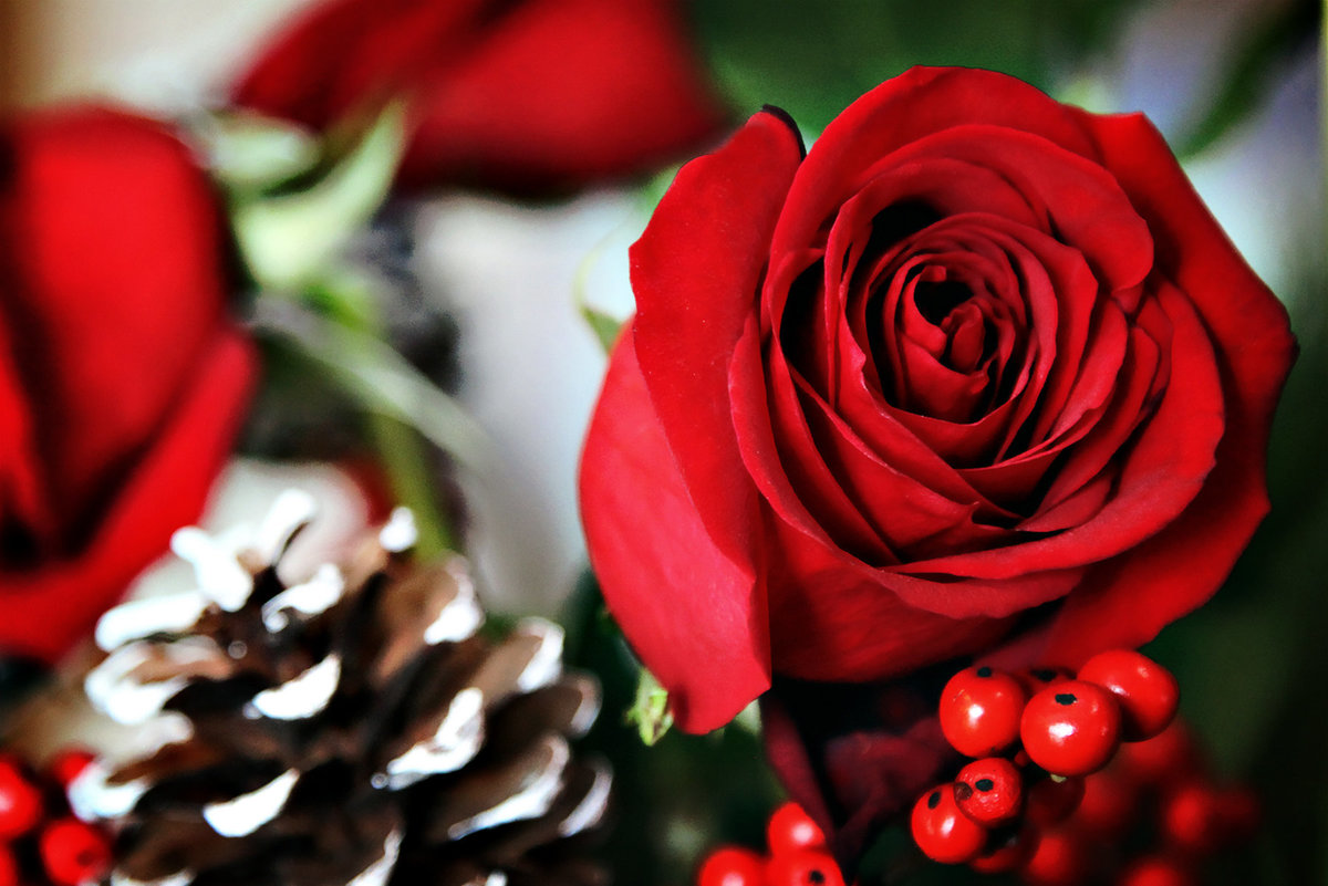Red Christmas Rose 1H v3