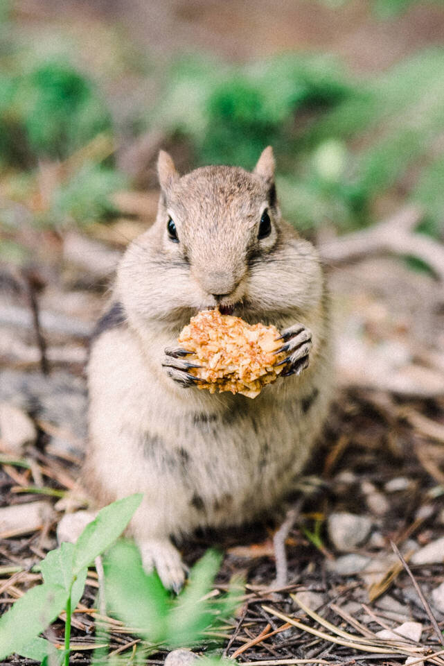 chipmunk eats a stolen cookie