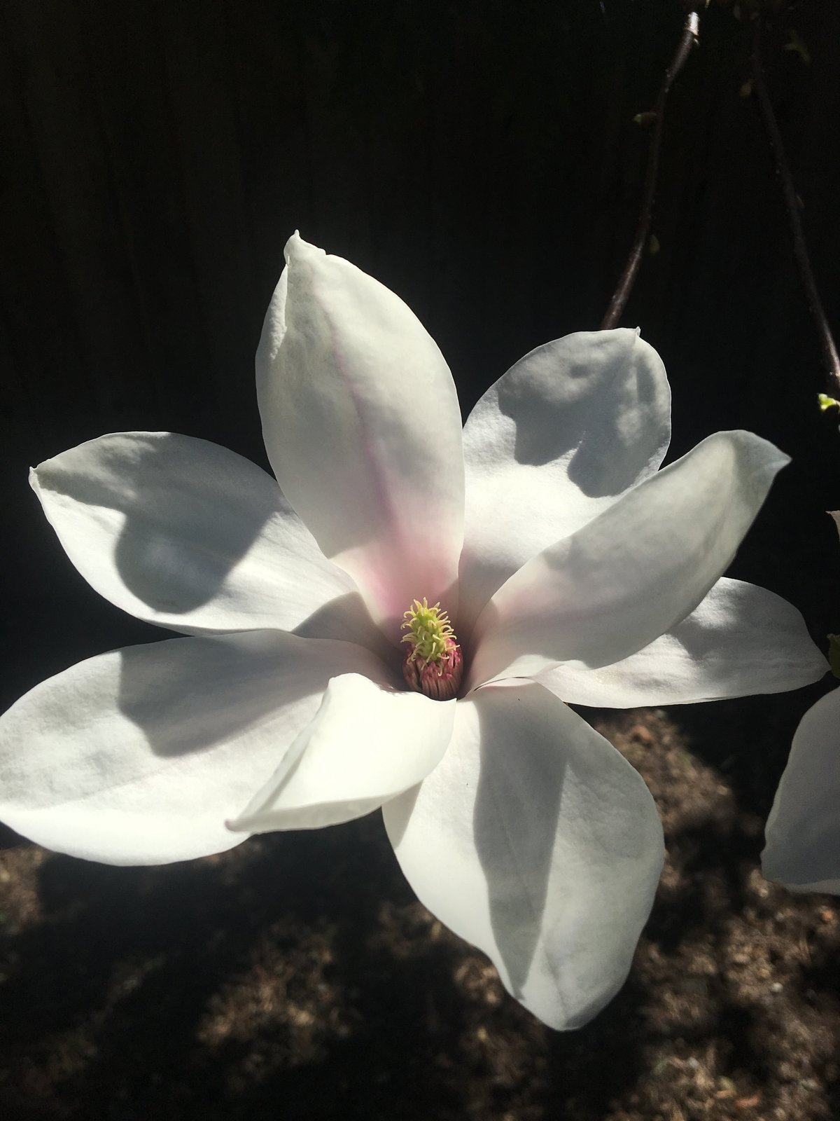 Saucer Magnolia bloom