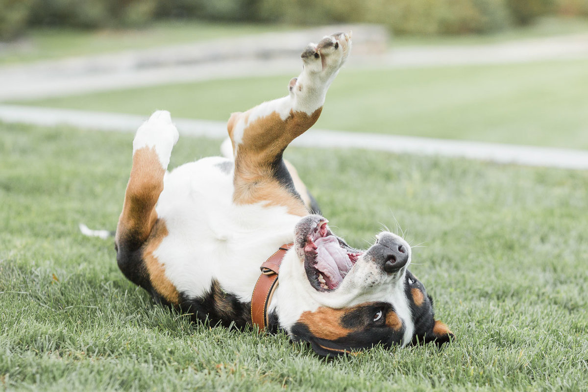 Greater Swiss Mountain Dog rolling around