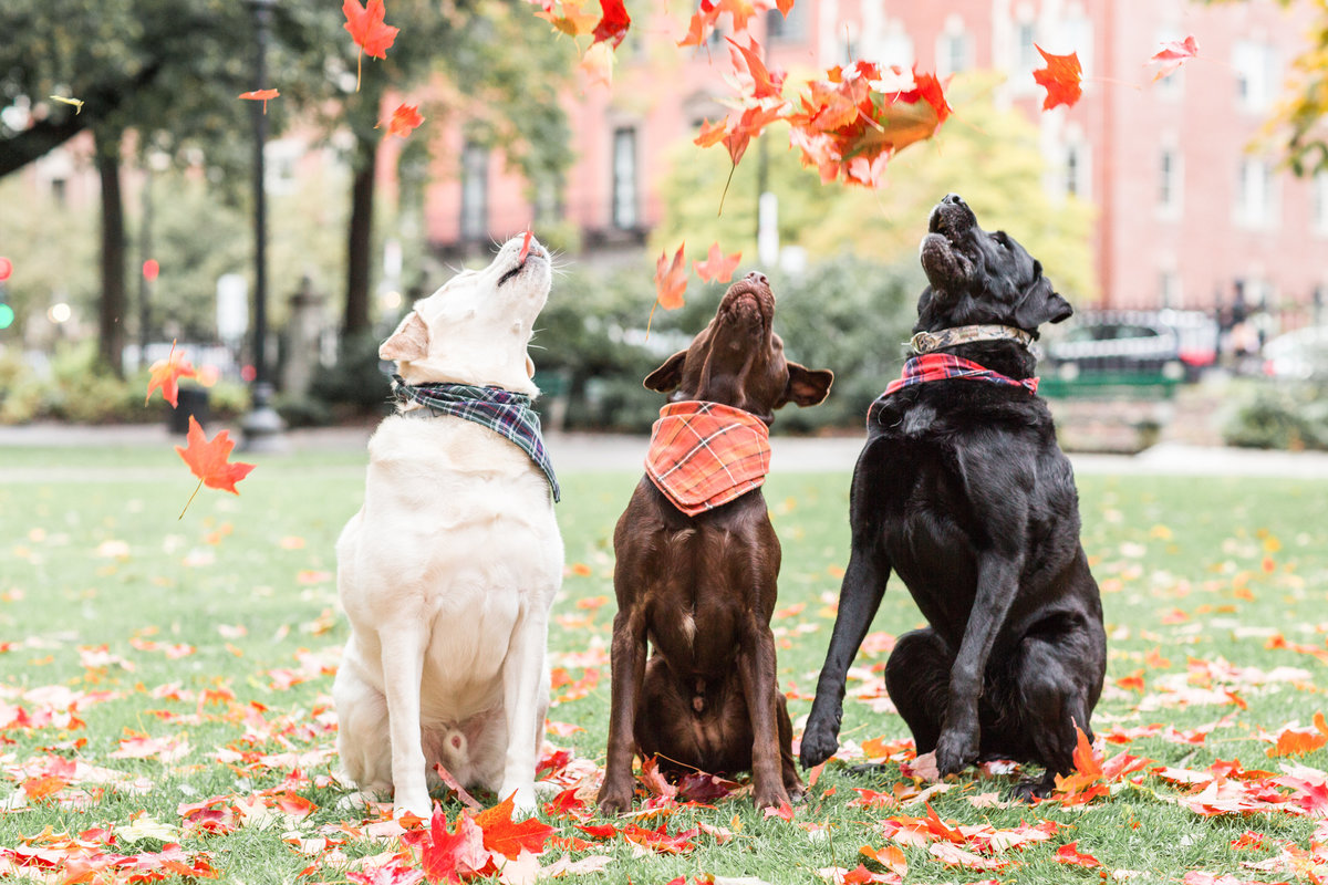 Three Labs with leaves flying in the air