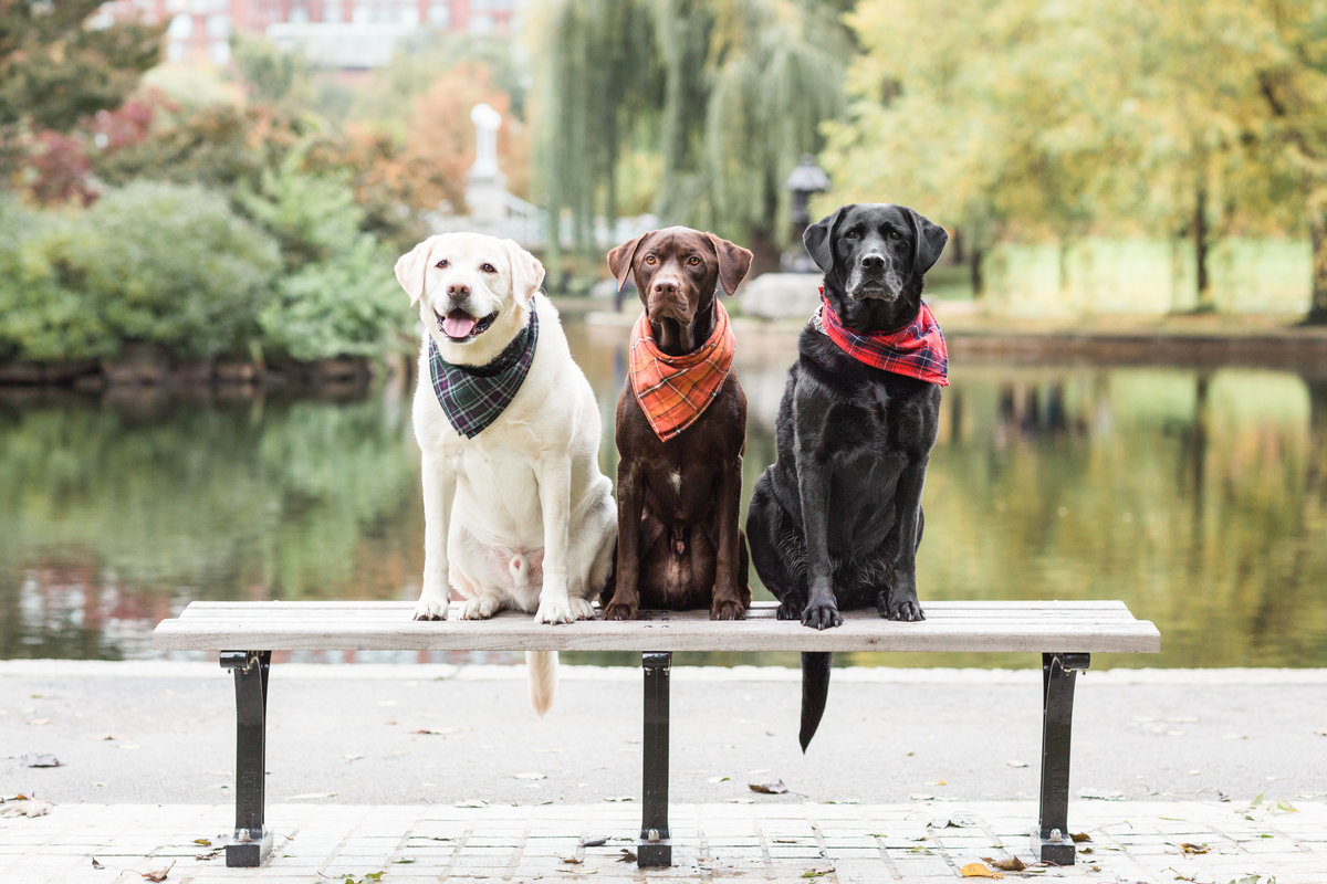 Three Labs sitting on a bench wearing scarves in the Boston Public Garden