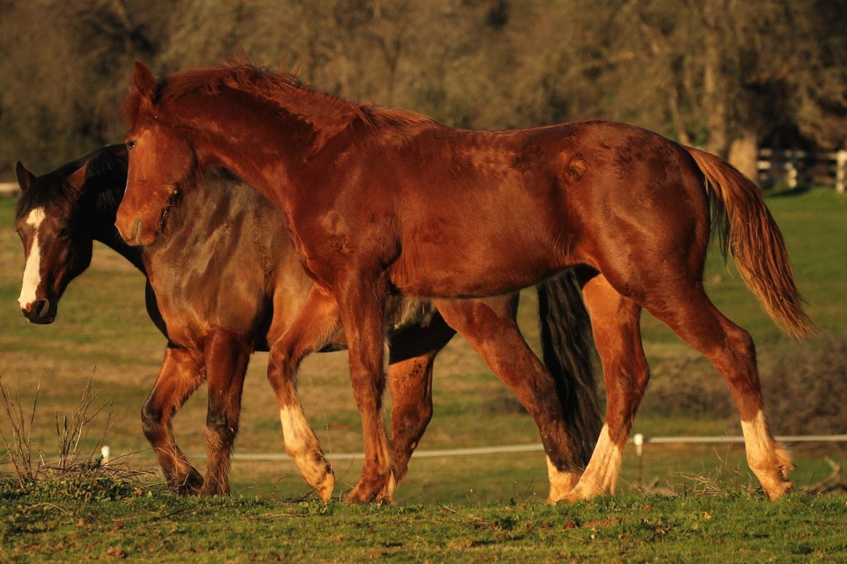 Bounce-Connemara x Thoroughbred Foal