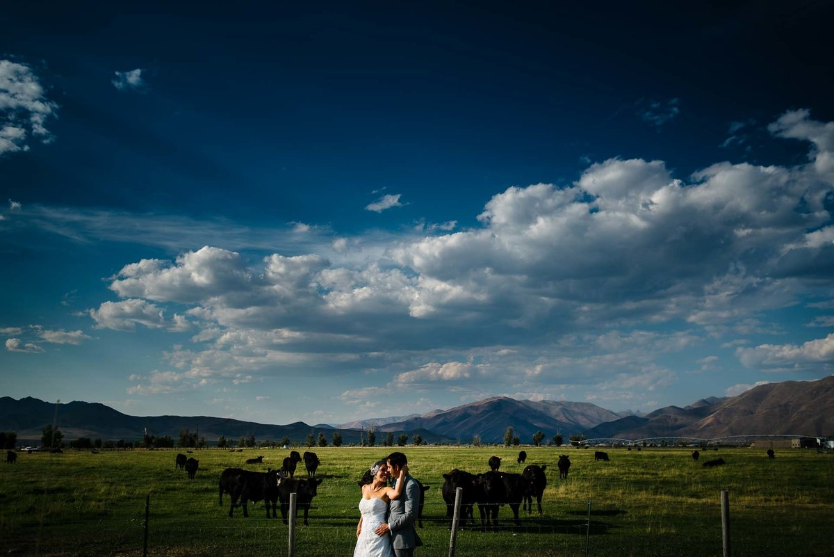 bride and groom surrounded by cattle in sun valley idaho