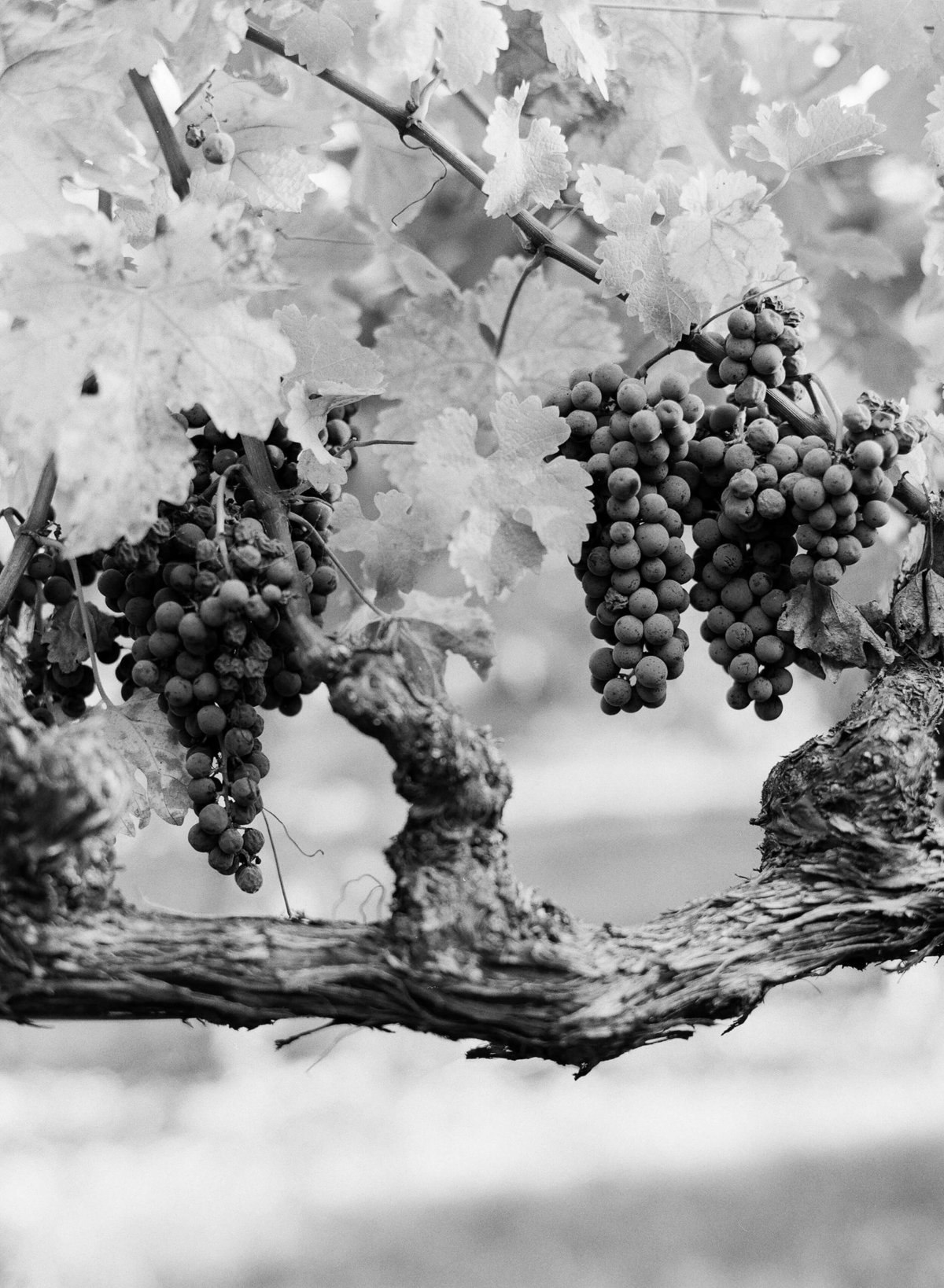 11-KTMerry-wedding-photography-Napa-Valley-wine-grapes