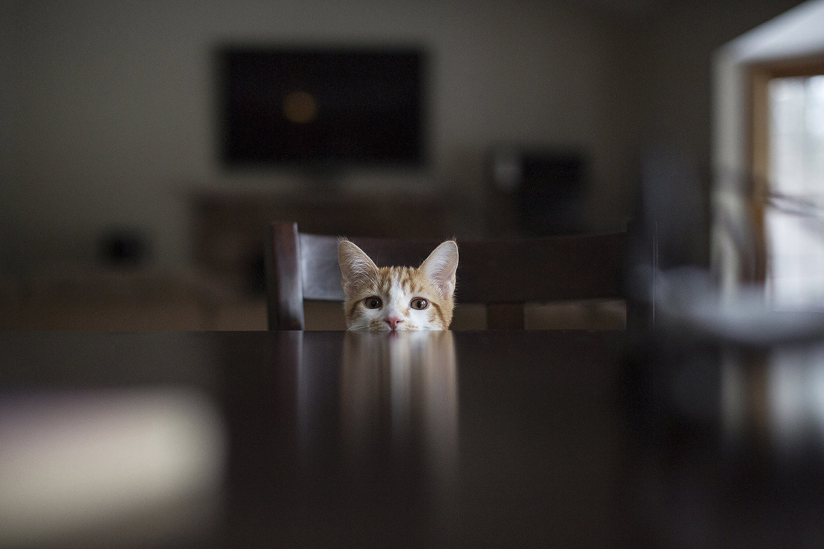 kitten looking at camera at table
