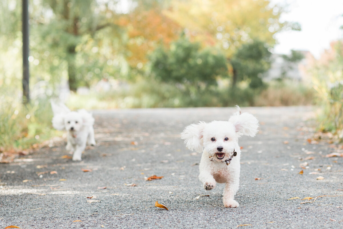 Two white fluffy dogs running in park