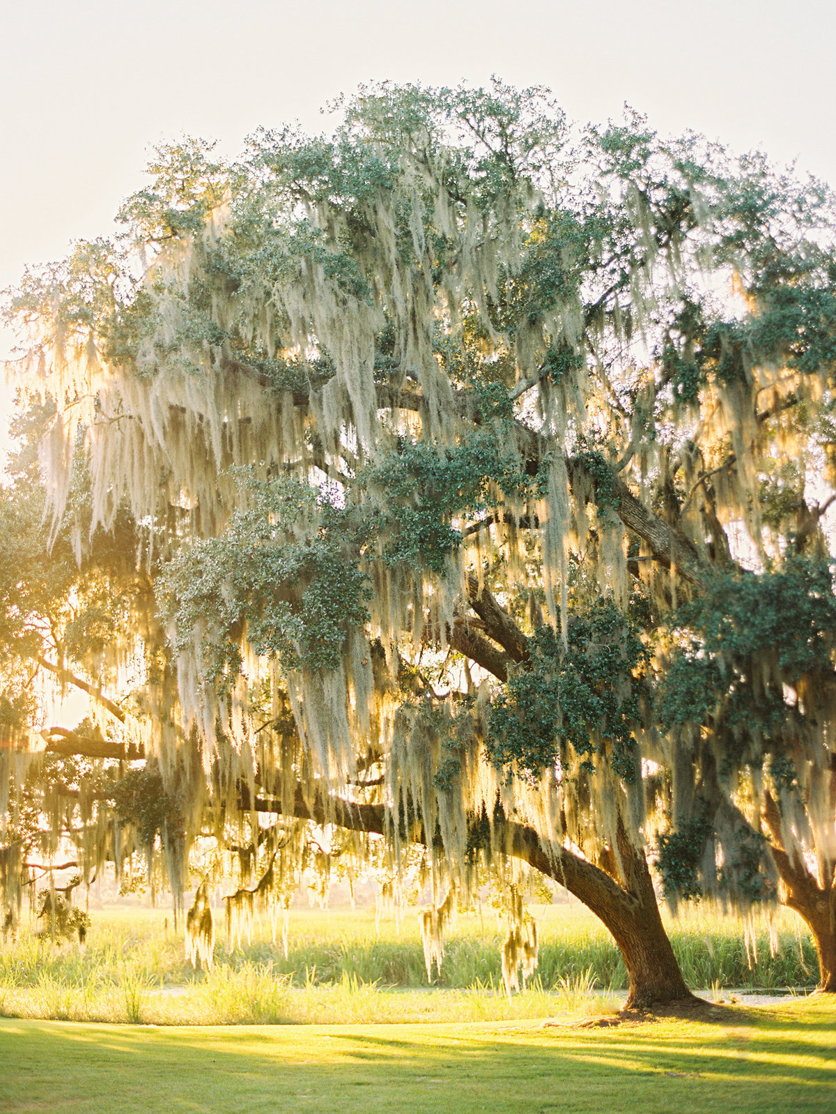 Giant oak tree with spanish moss at sunset.