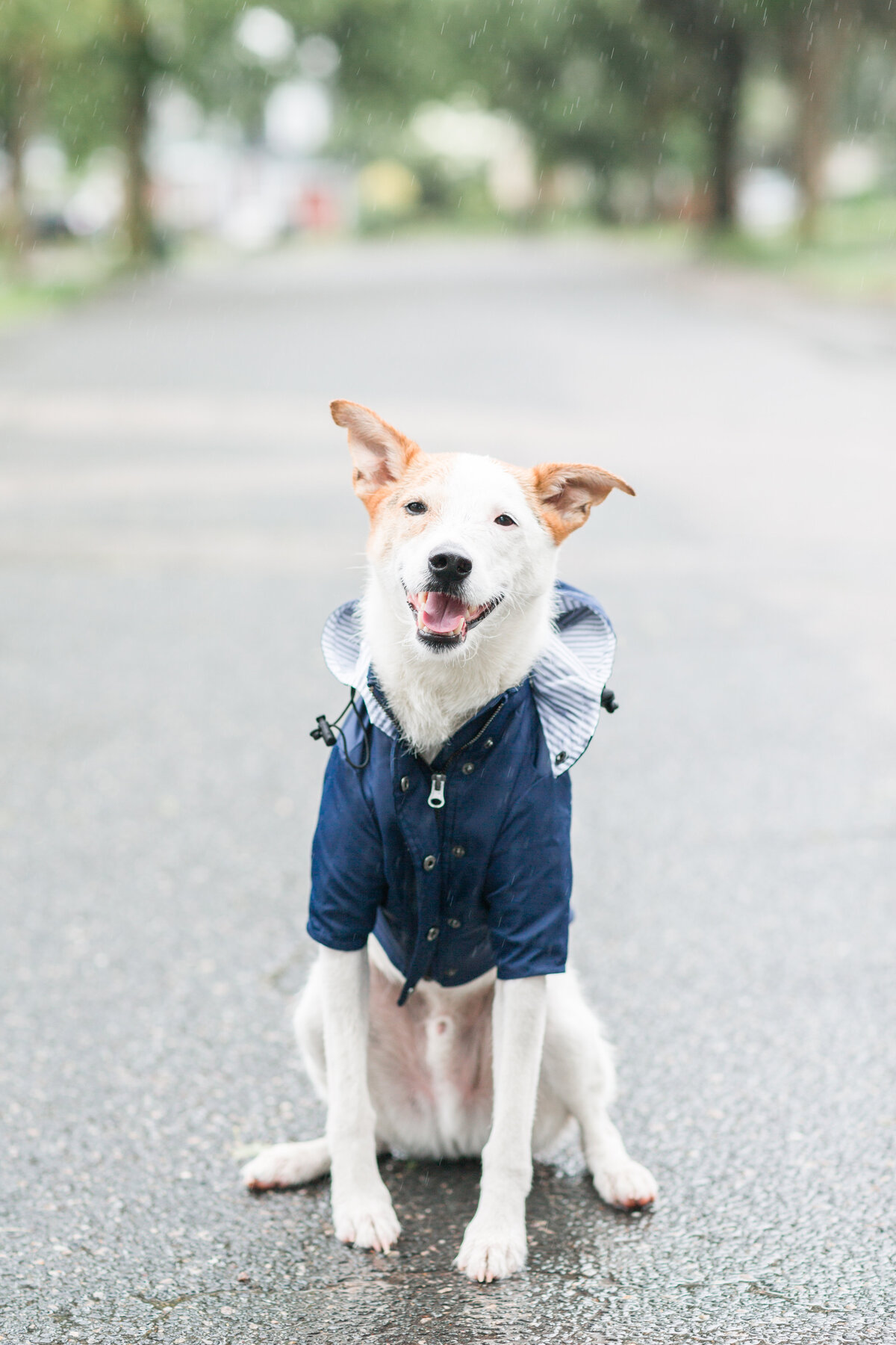 Rescue dog wearing a rain jacket in Boston