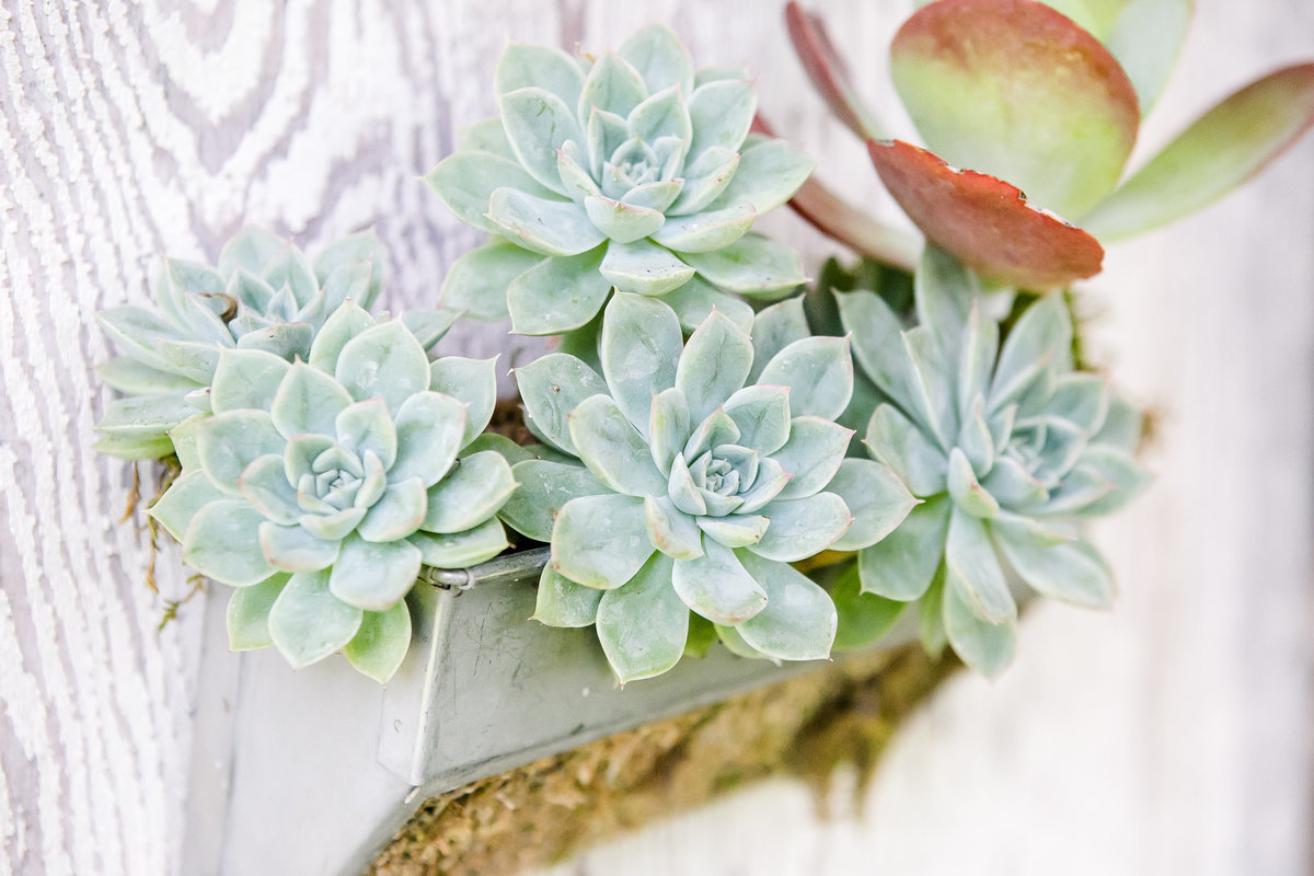 Austin Family Photographer, Tiffany Chapman Photography, Succulent photo